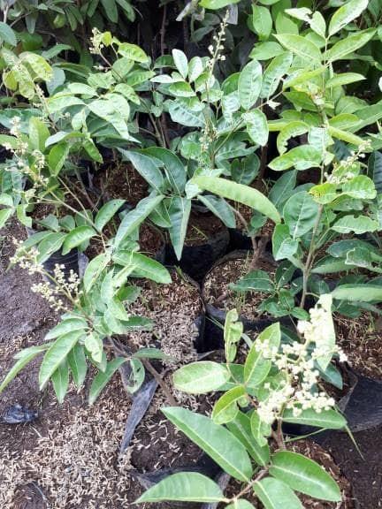 harga Bibit tanaman buah kelengkeng aroma durian sudah berbunga Tokopedia.com