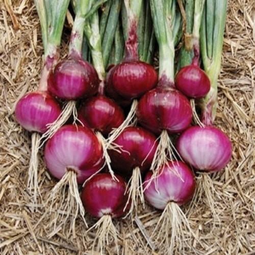 cara menanam bawang merah 1