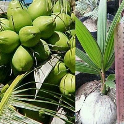 tanaman kelapa kopyor genjah