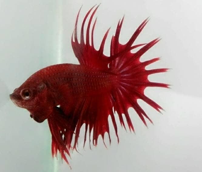 Jual 02 Paket Murah Bagus Ikan Cupang Serit Halfmoon Plakat Kab Bekasi Lc Betta Tokopedia