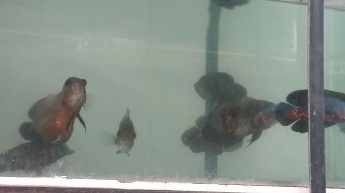 harga Ikan hias oscar batik Tokopedia.com