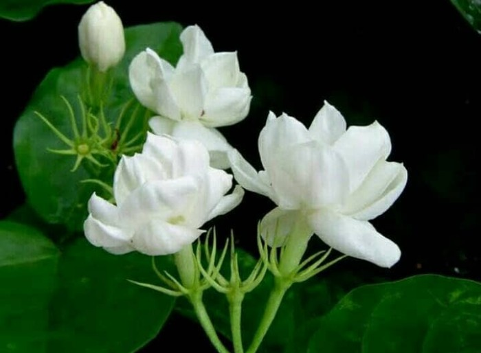Jual Bibit Bunga Melati Kampung Kota Batu Ruby Florist Tokopedia