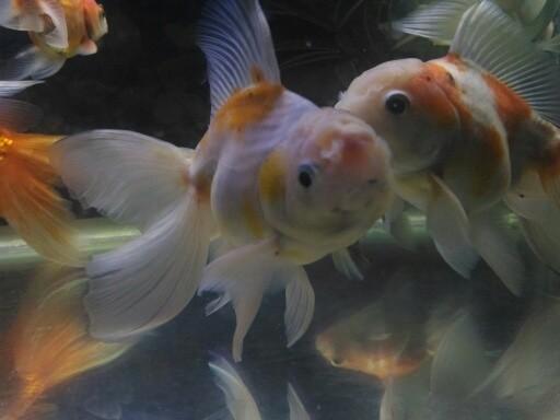 Jual Calon Indukan Ikan Mas Koki Oranda Calico Top X Tokopedia
