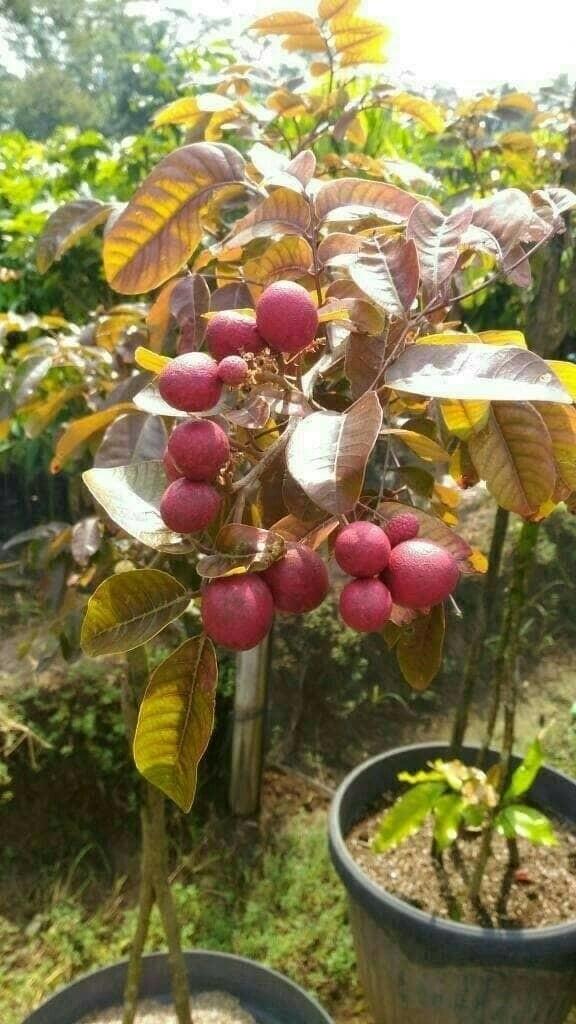 harga Bibit kelengkeng merah red ruby okulasi berbunga atau berbuah Tokopedia.com