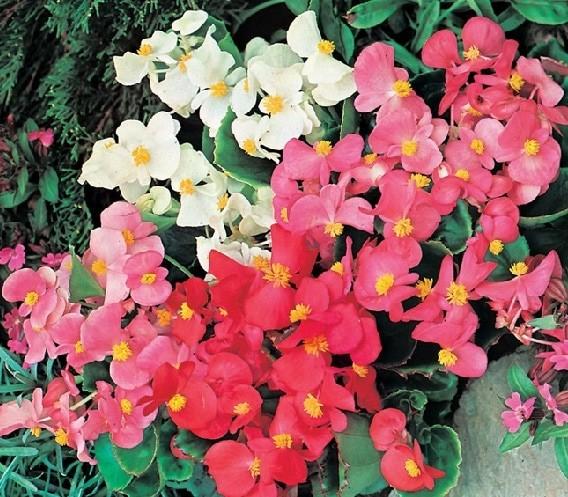 Benih Biji Bibit Bunga Begonia Summer Rainbow F2 Import UK