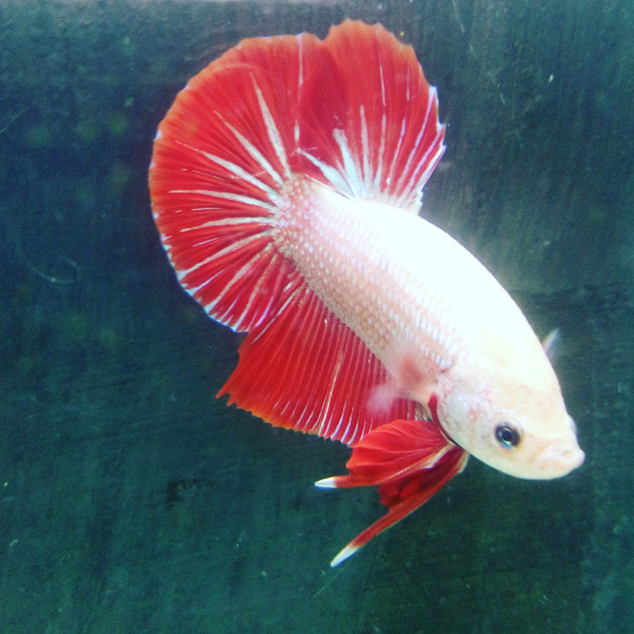 Jual Ikan Cupang Giant Red Dragon Kota Medan Anggiribza Tokopedia