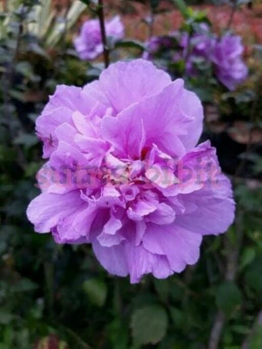Tanaman Hias Bunga Hibiscus Ungu Tumpuk