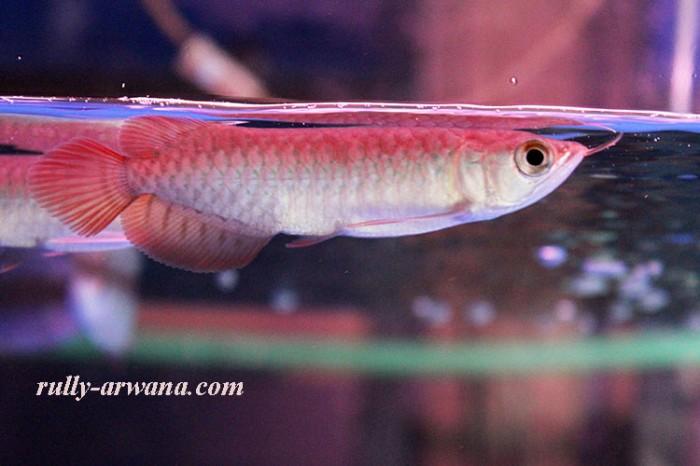 harga Ikan arwana super red 10 cm Tokopedia.com