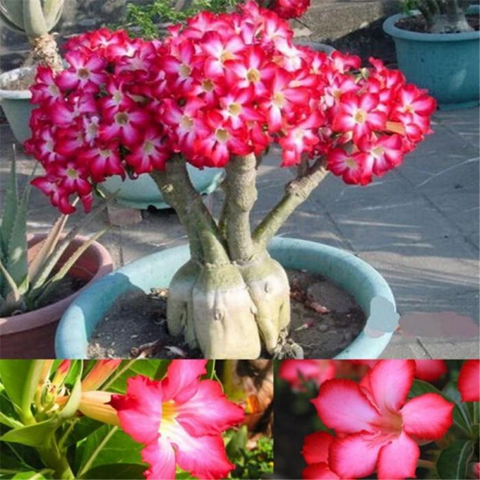 Jual Benih Biji Bunga Kamboja Adenium Obesum Pink Bonsai Kab