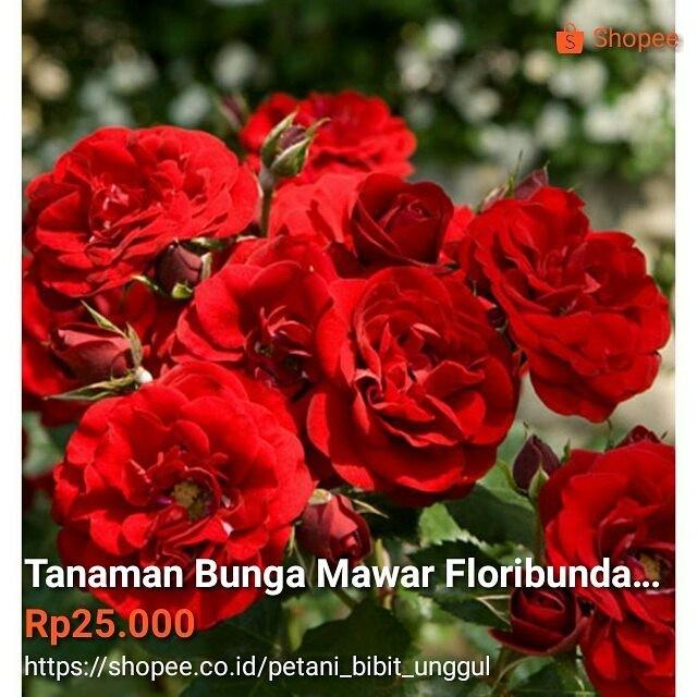Jual Tanaman Bunga Mawar Floribunda Merah Kab Malang Bibitbobotbibit Tokopedia