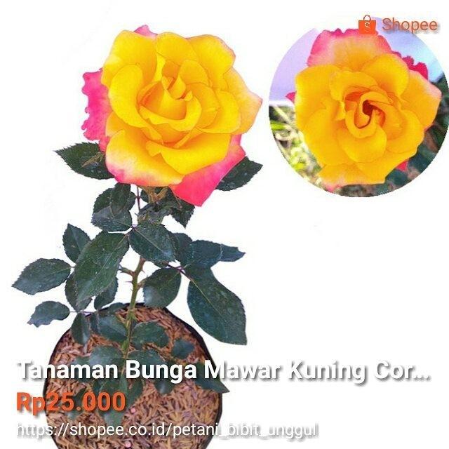 Jual Tanaman Bunga Mawar Kuning Corak