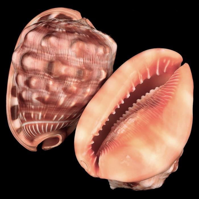 harga Cypraecassis rufa kerang laut (seashell) kualitas pilihan! Tokopedia.com