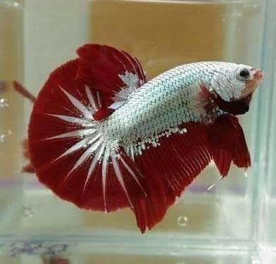 harga Ikan cupang red dragon aduan hias bagan bangkok import aquascape murah Tokopedia.com