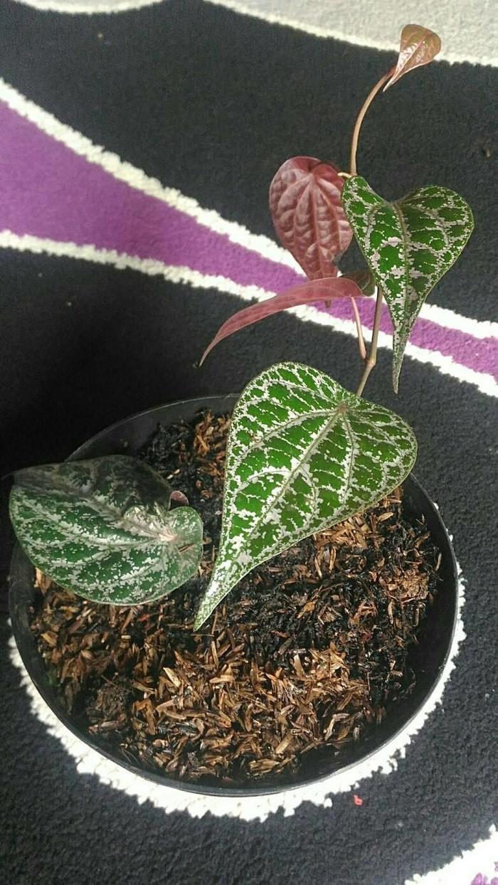 Jual Sale Pohon Sirih Daun Sirih Merah Tanaman Herbal Jakarta Selatan Cahaya Hati MM