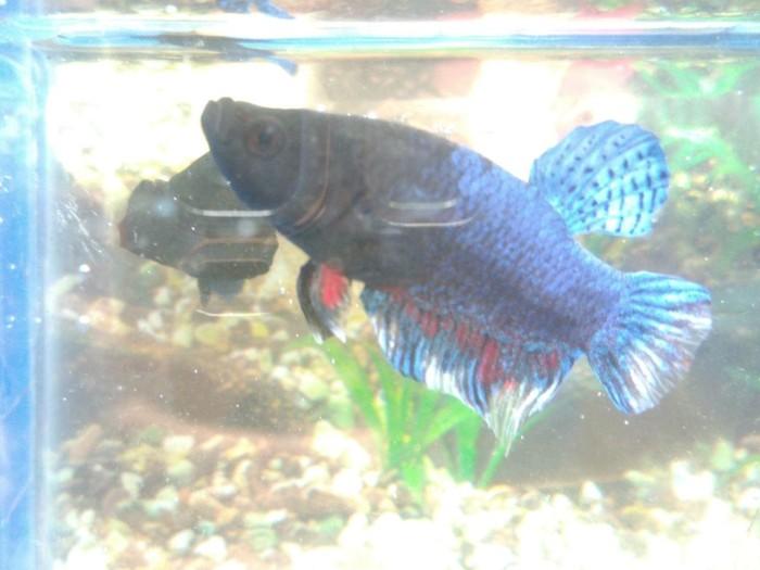 harga Ikan cupang aduan medan super by d.a.g betta farm tangerang Tokopedia.com