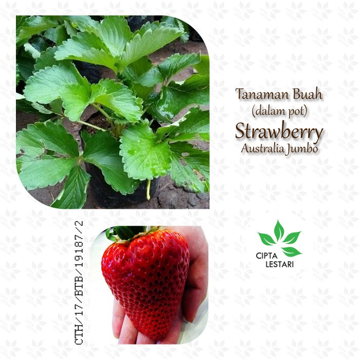 Tanaman Buah Strawberry Australia Jumbo - Bibit Pohon Strawbery Besar