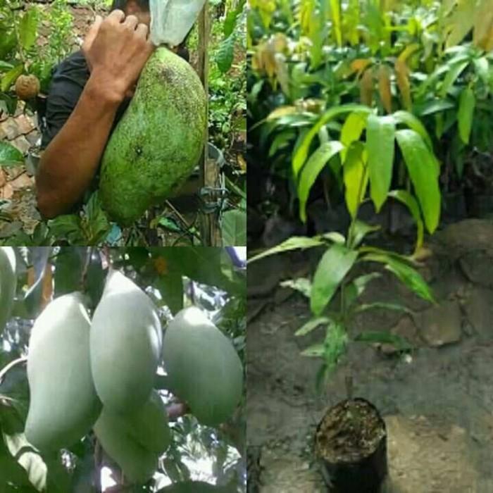 Bibit tanaman buah mangga mahatir 1meteran