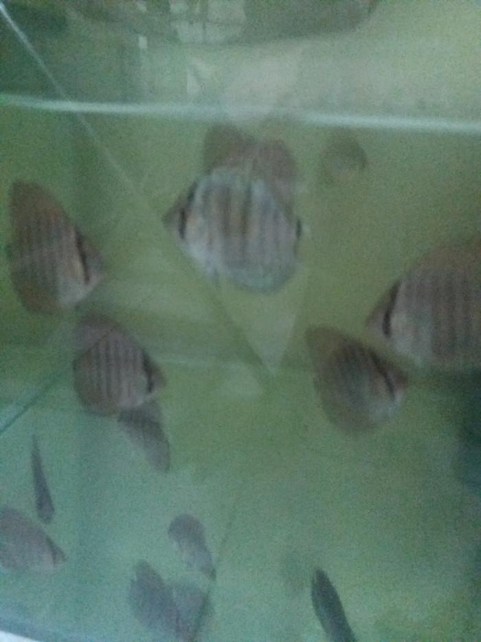 harga Discus terquis 3-3.5 cm ikan hias aquascape aquarium Tokopedia.com