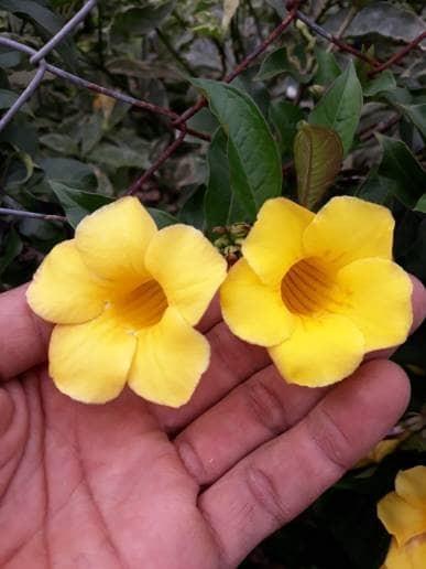Jual Tanaman Hias Bunga Alamanda Kuning Lokal Kota Batu Callysta Garden Tokopedia