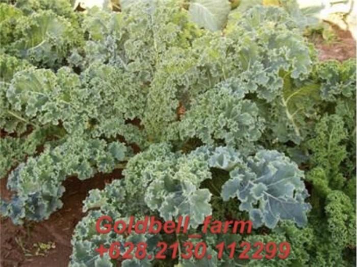 harga Bibit kale dwarf siberian Tokopedia.com