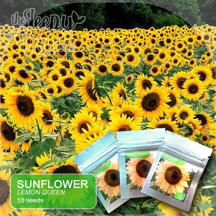 Jual Sale 10 Seed Sunflower Lemon Queen Benih Bunga Matahari Jakarta Pusat Hiidroponik Shop Tokopedia