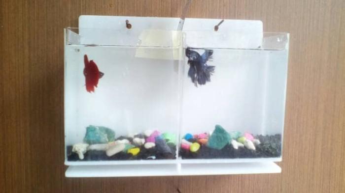 jual aquarium dinding mini ikan cupang 2 kamar dki jakarta aan rh tokopedia com