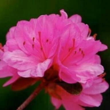 Bibit Bunga Azalea Pink · Bibit Bunga Azalea Pink