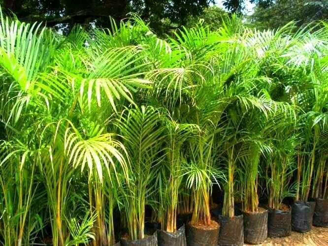 Jual Palem kuning tanaman hias | pohon palem kuning - Kab. Bogor ...