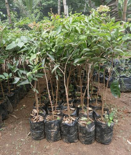 harga Bibit kelengkeng aroma durian super genjah asal bibit okulasi Tokopedia.com