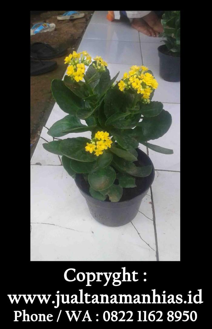 Unduh 7800 Koleksi Gambar Bunga Cocor Bebek Paling Cantik HD