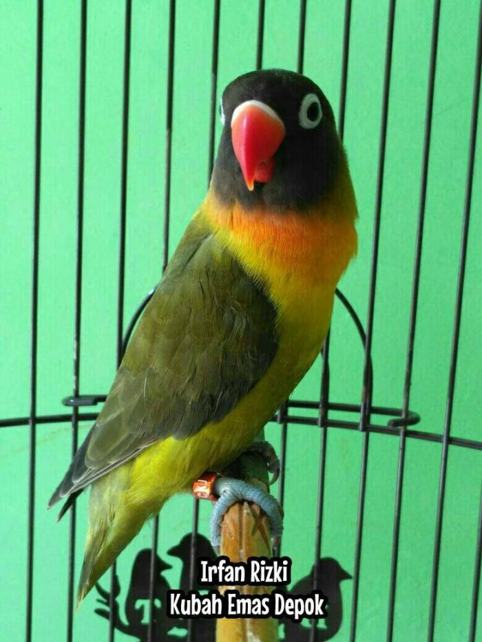jual burung lovebird olive kubah emas depok kirim gojek