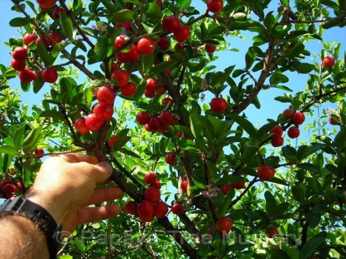 Bibit / Benih / Seeds Buah Beach Cherry Cocok Daerah Panas dan Dingin