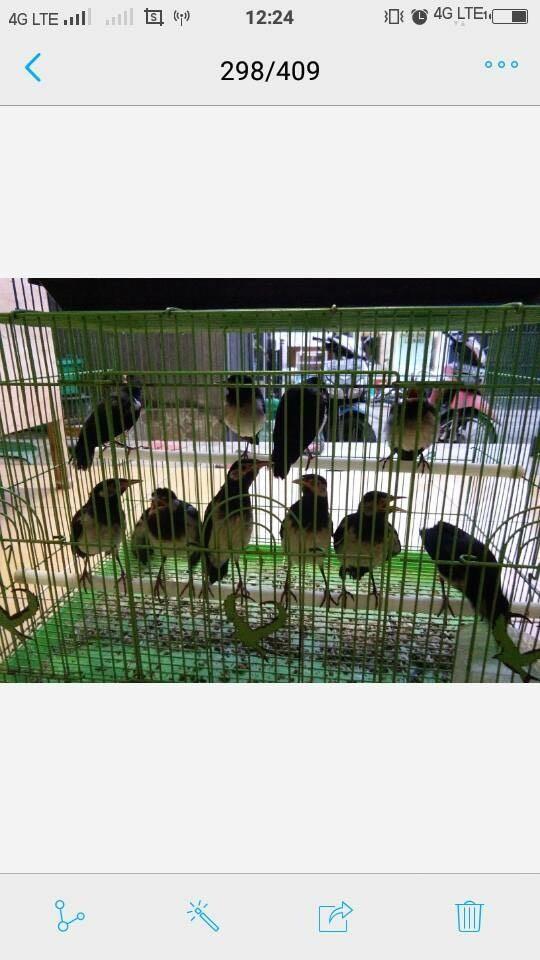 harga Burung jalak suren anakan makan pur sendiri murah (pengepul) Tokopedia.com