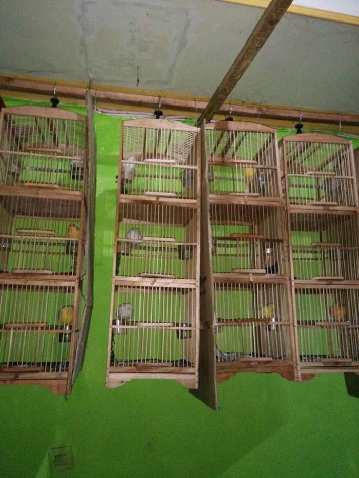 harga Burung kenari gacor-kuning polos murah (pengepul) Tokopedia.com