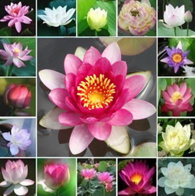 5PCS Lotus seed benih bunga teratai flower biji tanaman air aquascape