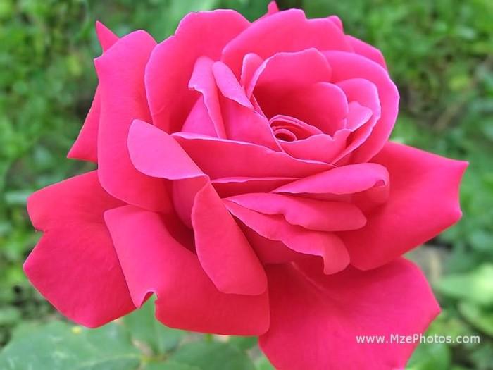Jual Tanaman Bunga Mawar Pink Strup Kota Batu Kembangdesa