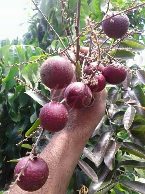 harga Bibit kelengkeng merah ruby longan siap buah/berbunga/berbuah 80-100cm Tokopedia.com