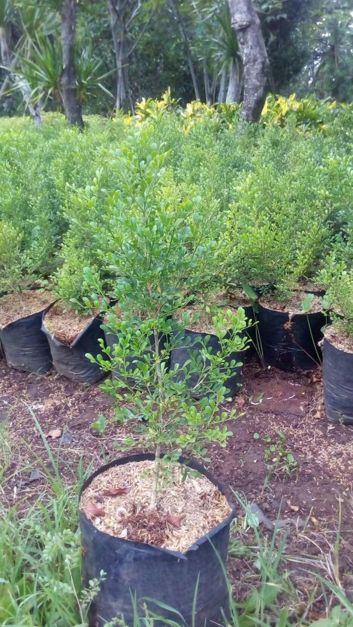 Jual Pohon Kemuning Mini Tanaman Kemuning Kecil Bunga Kemuning Mini Kab Bogor Aura Floris