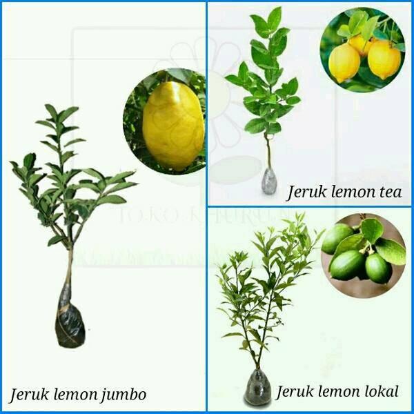 Tinggi 40cm Daftar Source · Promo Paket 3 Bibit Tanaman Buah Jeruk Lemon .