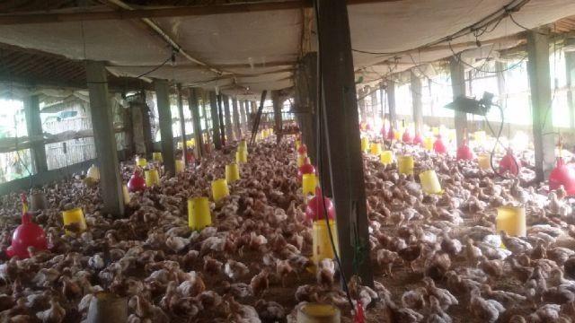 Bibit Ayam Petelur Pullet