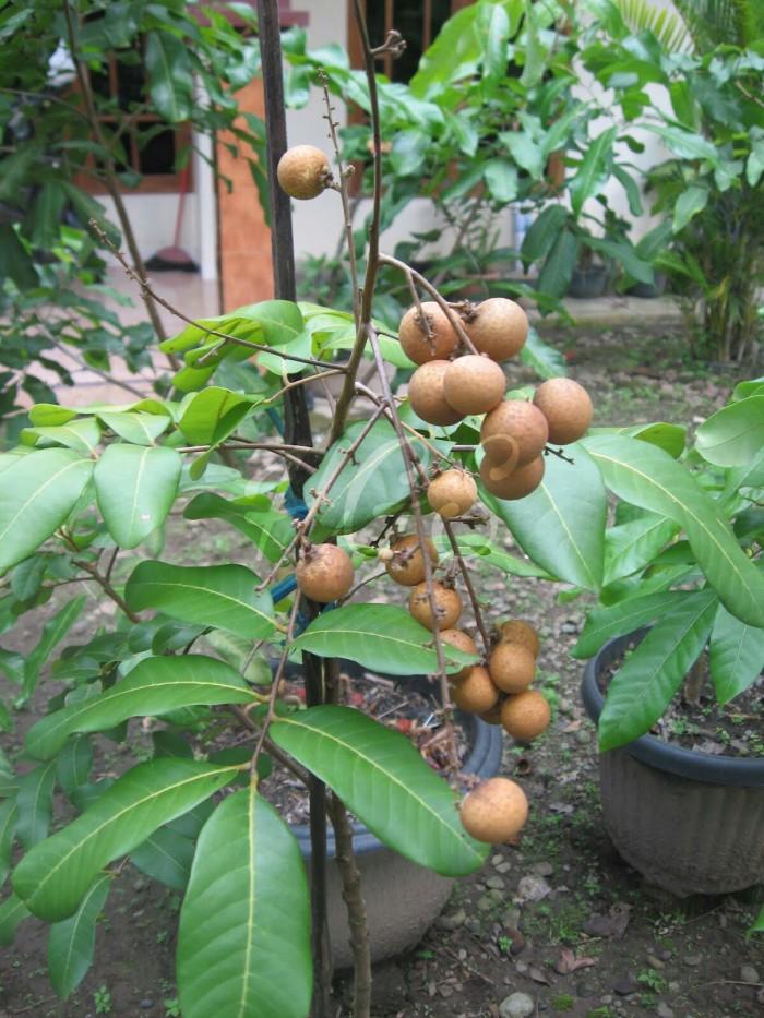 harga Bibit tanaman buah kelengkeng puangray thailand biji kecil Tokopedia.com