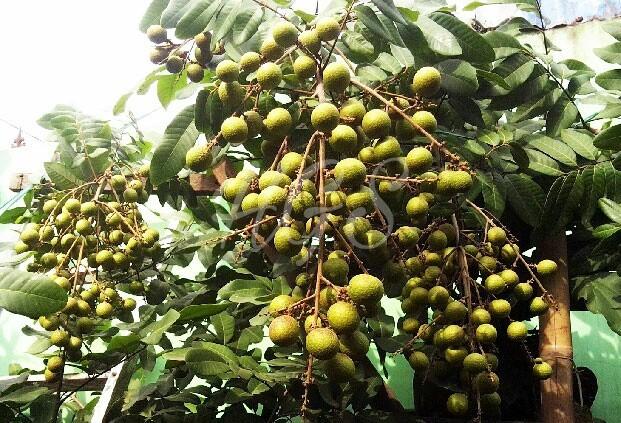 harga Bibit tanaman buah kelengkeng aroma durian Tokopedia.com
