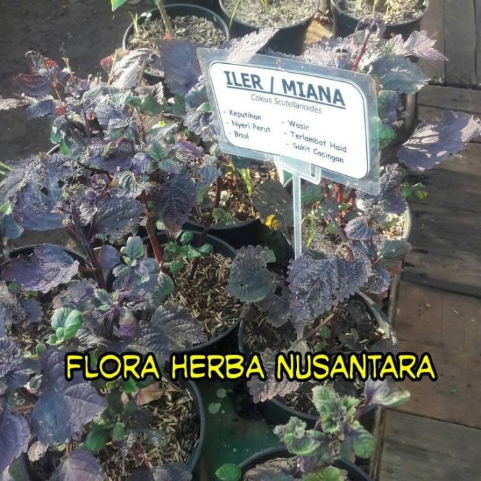 Jual Tanaman Obat Daun Iler Daun Miana Kota Bekasi Flora Herba Nusantara Tokopedia