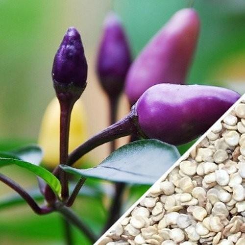 Benih CABE UNGU / PURPLE PEPPER Maica Leaf 15 Benih
