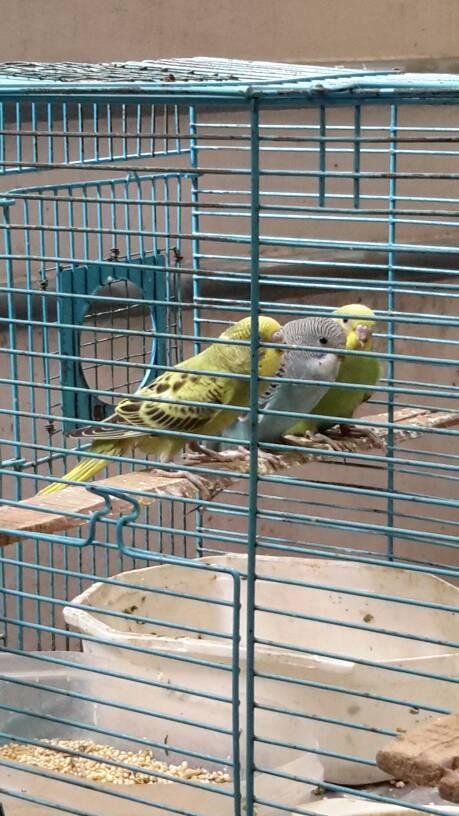 harga Burung Parkit Anakan Tokopedia.com