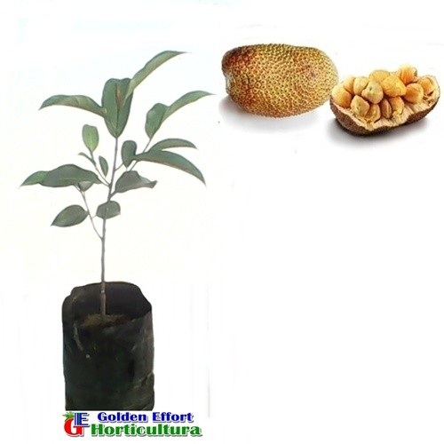 harga Cempedak aroma durian b Tokopedia.com