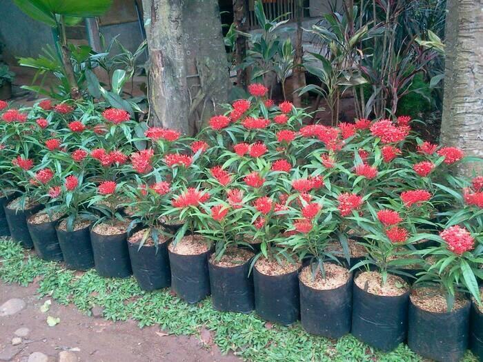Jual Jual Tanaman Hias Bunga Asoka King Tanaman Soka King Bunga Merah Kab Bogor Aura Floris Tokopedia