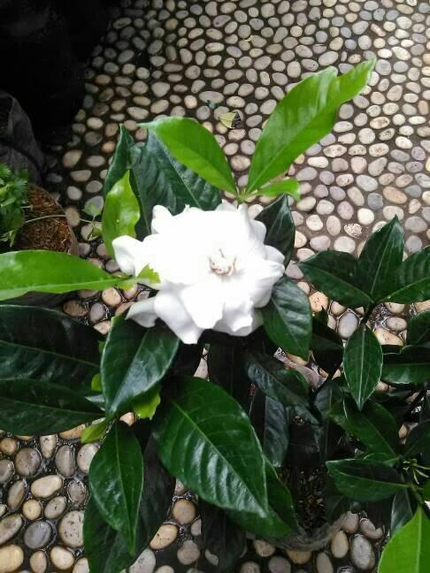 Jual Tanaman Kaca Piring Bunga Kacapiring Kab Bogor Hijau Alam Tokopedia
