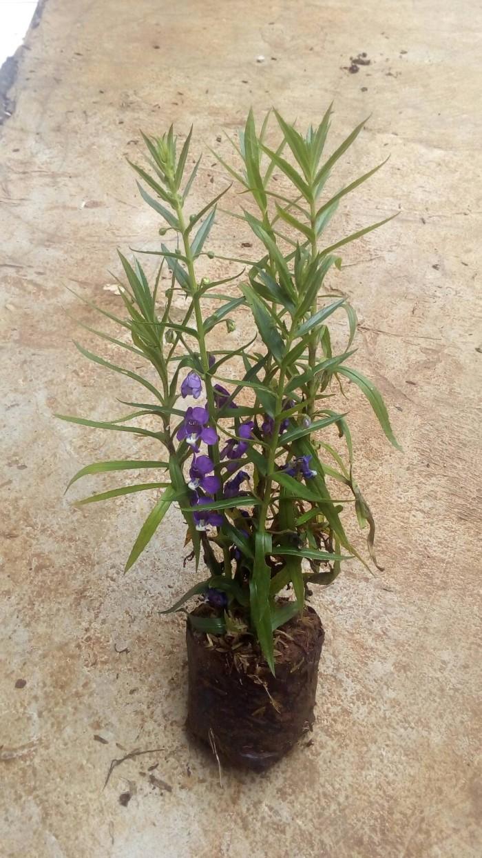 Jual Tanaman Lavender Tanaman Pengusir Nyamuk Pohon Lavender Bunga Ungu Kab Bogor Aura Floris