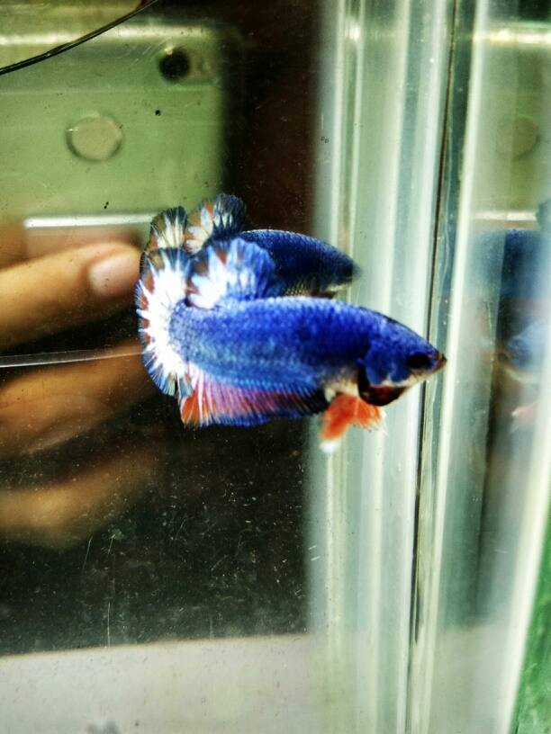 harga Ikan Cupang Plakat Line Fancy Tokopedia.com